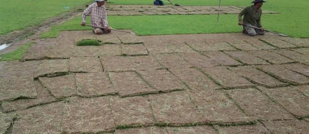 ปลูกหญ้า,หญ้านวลน้อย